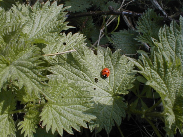 lady bird and nettles